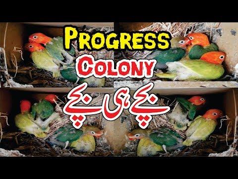 Lovebirds Breeding | Birds Colony Progress | Love Birds Winter Care Video Urdu/Hindi
