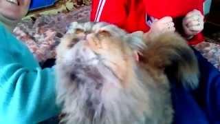 Самая прикольная персидская кошка