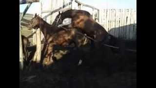 Дикий жеребец-Случка лошадей-cool stallion mating horses-クー繁殖期-επιβήτορας ζευγάρωμα(http://superstar.myprintbar.ru/zhenskiye-tovari/loshadi/ Случка — спаривание животных с целью получения потомства. Термин обычно..., 2015-06-01T00:45:12.000Z)