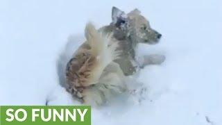 ゴールデン・レトリバーのマックス、全身で雪遊びを楽しむ
