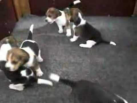 Beagle Puppy Training Beagle Puppy Pictures Beagle Potty