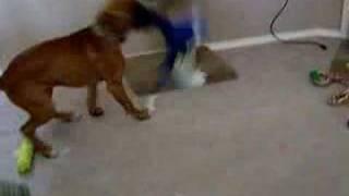 Boxer Dog Tyson Zoomies