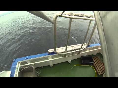 Lakselustelling på smolt i Hardangerfjorden