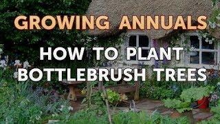 How to Plant Bottlebrush Trees