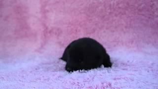 スキッパーキ(シッパーキ)の子犬をPADOGグループにて販売中!http://p...