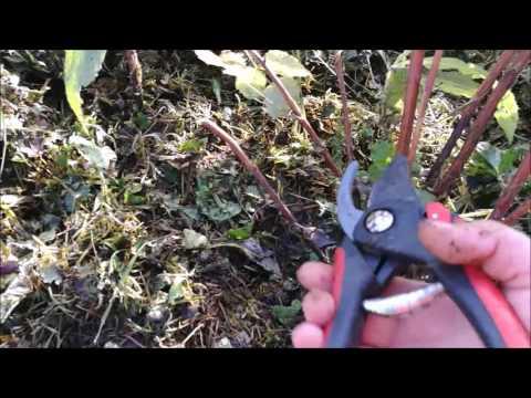 Выращивание малины: посадка, уход, подкормки - Дачные
