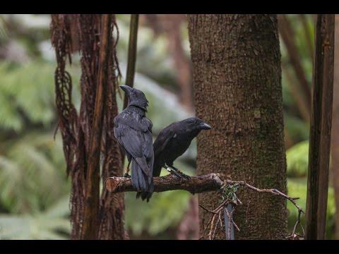 'Alalā Released into Natural Area Reserve