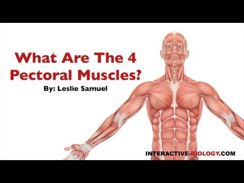 081 What are the Four Pectoral Muscles?