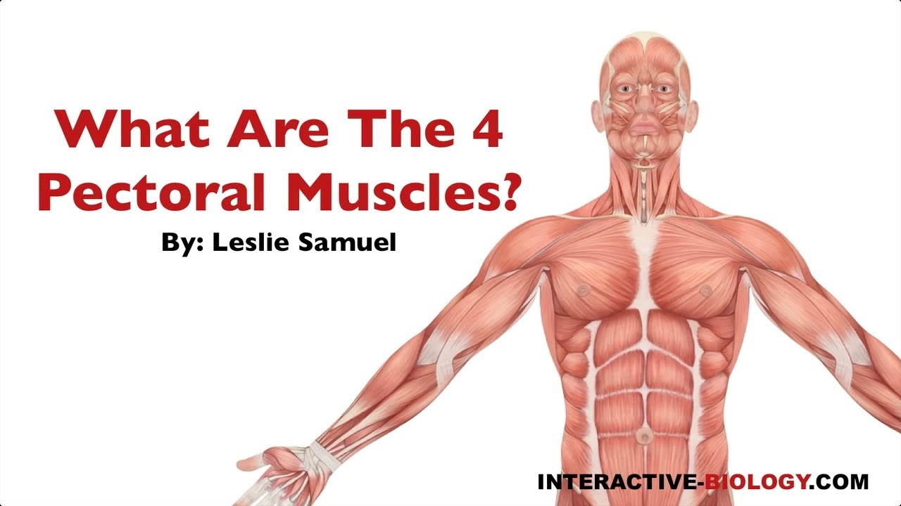 081 What Are The Four Pectoral Muscles Youtube