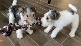 Wire fox terrier puppies roughhousing  9 weeks old