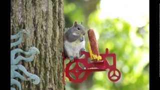 Video For Cats - Squirrels Eating Corn On The Cob While Sitting On A Red Tractor