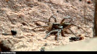 Monsterduelle XXS - Skorpion VS Wolfsspinne [HD 720p] Scorpion vs Wolf Spider