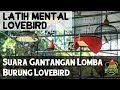 Latih Mental Lovebird Dengan Suara Gantangan Lomba Lovebird Ngalas(.mp3 .mp4) Mp3 - Mp4 Download
