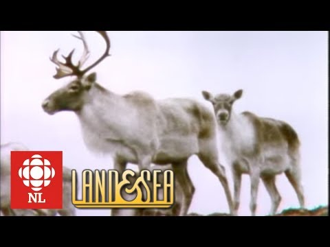Land & Sea: The Avalon Caribou herd