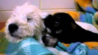 Puppy schanuzer biting her westie sister's ear