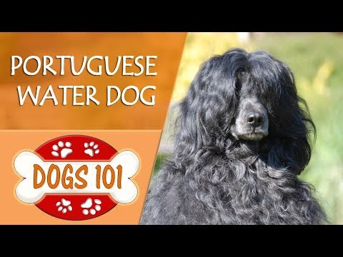 Dogs 101 - PORTUGUESE WATER DOG - Top Dog Facts About the PORTUGUESE WATER DOG