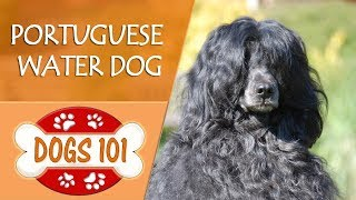 Dogs 101  PORTUGUESE WATER DOG  Top Dog Facts About the PORTUGUESE WATER DOG