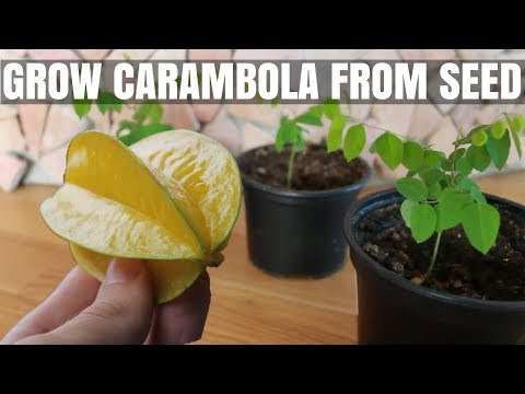 How to Grow a Carambola Starfruit Tree from Seed  DIY Video