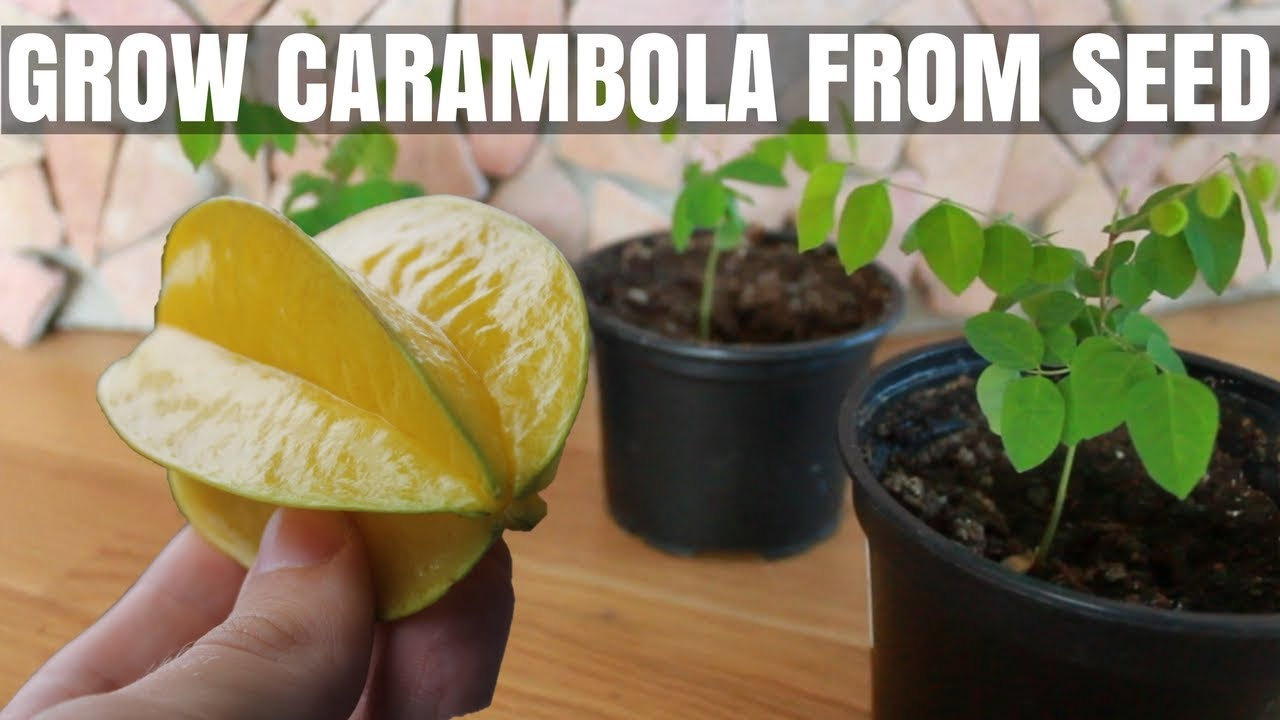 How to Grow a Carambola (Starfruit) Tree from Seed - DIY ...