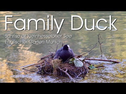 Family Duck in the sunrise at Englischer Garten Munich
