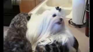 О породе собак - Мальтийская болонка (Maltese)