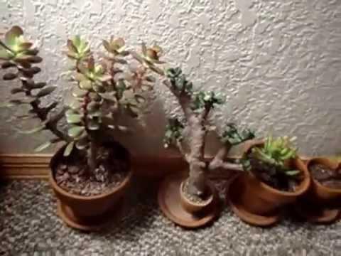 8 Crassula Ovata (Jade Plant) Varieties