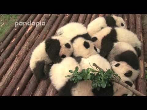 sleeping panda cubs