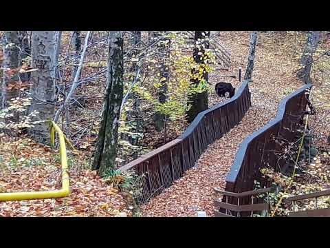 Ursul la Sovata