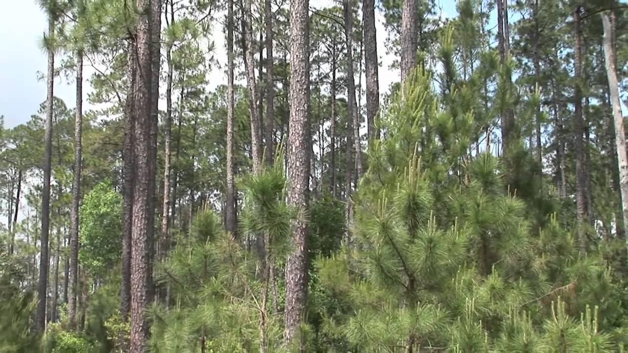 Southern Yellow Pine Flooring