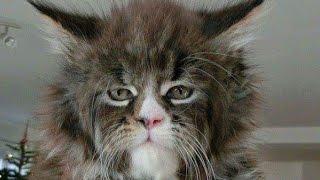 Самые дорогие популярные смешные знаменитые красивые необычные кошки в мире Поделки с детьми!
