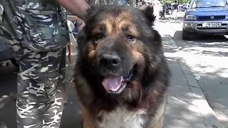 Dog GRIZZLY.Его зовут ГРИЗЛИ. Кавказская овчарка.Caucasian Shepherd Dog!Odessa.