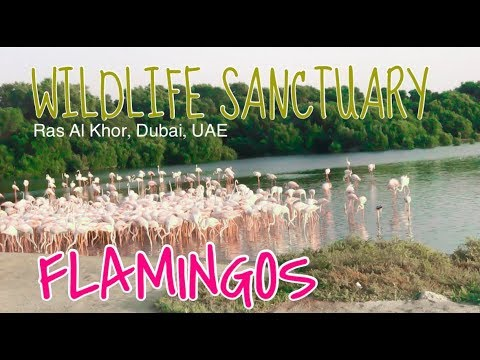 Flamingos in Dubai | Ras Al Khor Wildlife Sanctuary by MIKAY TV