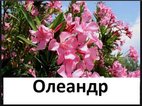 🍀🌻🌷  Олеандр в саду