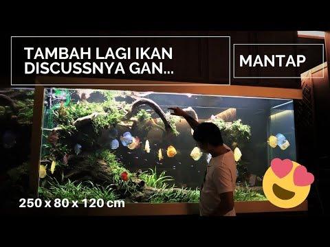 Tambah Ikan Discuss di Tank Aquascape 2400 liter