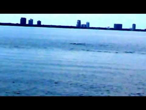 Wild dolphins in Tampa Bay, FL
