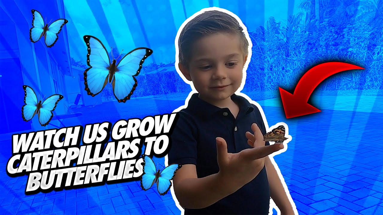 Watch Us Grow Caterpillars into Butterflies Using The Insect Lore Butterfly Kit