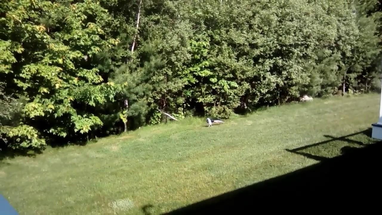 pheasant watching in my backyard youtube