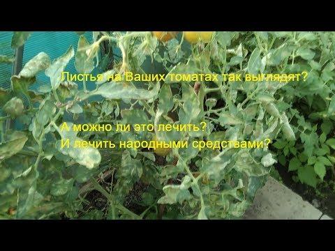Листья у томатов желтеют и сохнут? Что за болезнь? Отчего? Можно лечить народными средствами?