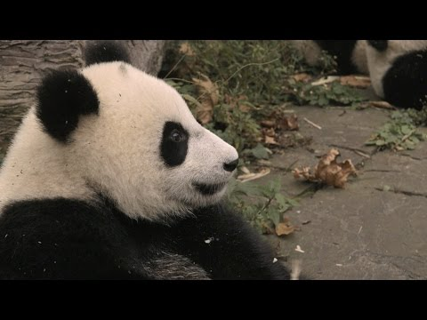 Panda toddlers have lunch with Clare Balding - Operation Wild: Series 1 Episode 1 - BBC One