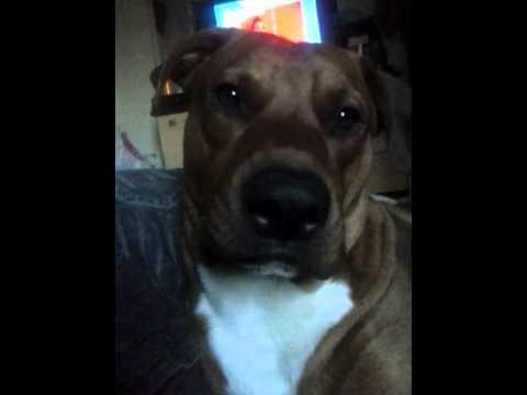 Pit Bull Com Labrador Mais Querido Do Mundo Youtube
