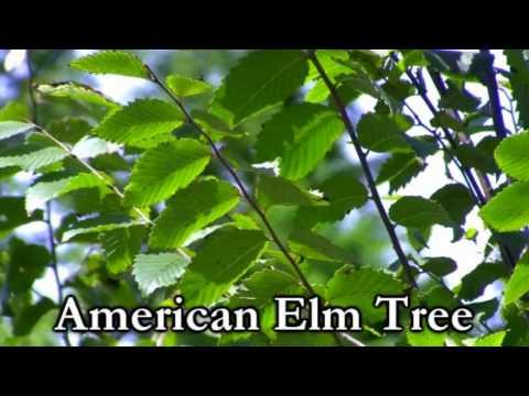 *Plant American Elm Trees* +Ulmus americana+Fast Growing+