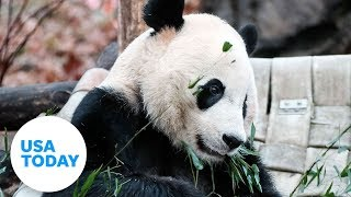Giant panda Bei Bei leaves Washington's National Zoo | USA TODAY