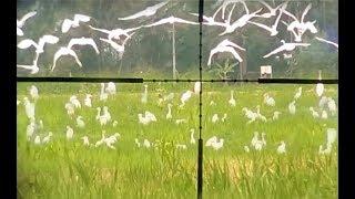 Download Mp3 Berburu Ribuan Burung Kuntul Putih