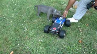 Blue pitbull puppy (9wk) vs RC truck