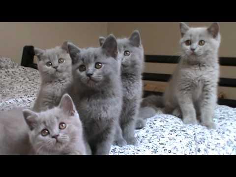 Havanell*PL - hodowla kotów brytyjskich