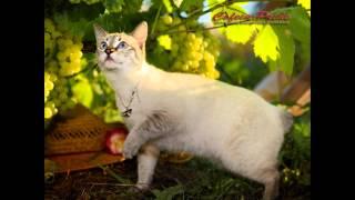 Меконгский, или тайский бобтейл (Mekong bobtail) породы кошек( Slide show)!