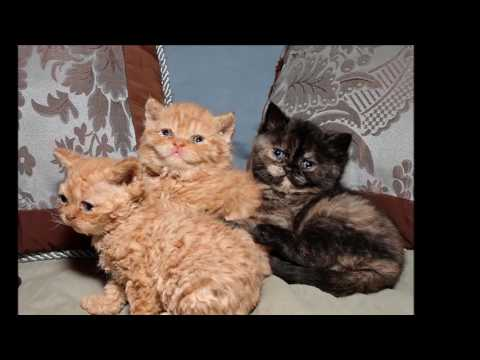 Cat Selkirk Rex History,Personality,Health,Care