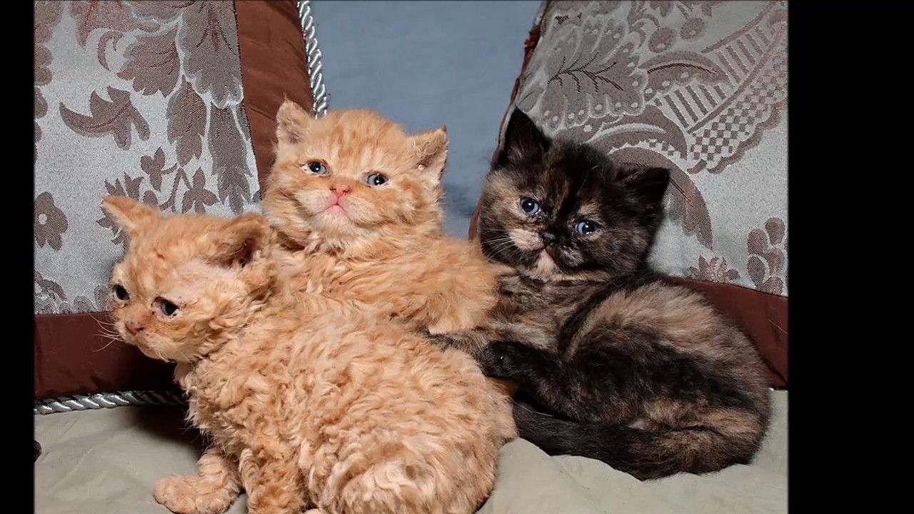 Cat Selkirk Rex History Personality Health Care