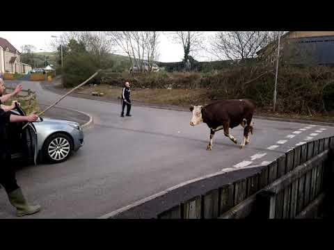 farmer's vs bull run out in Strabane