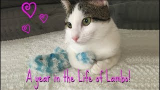 A Year in the Life of Lambo